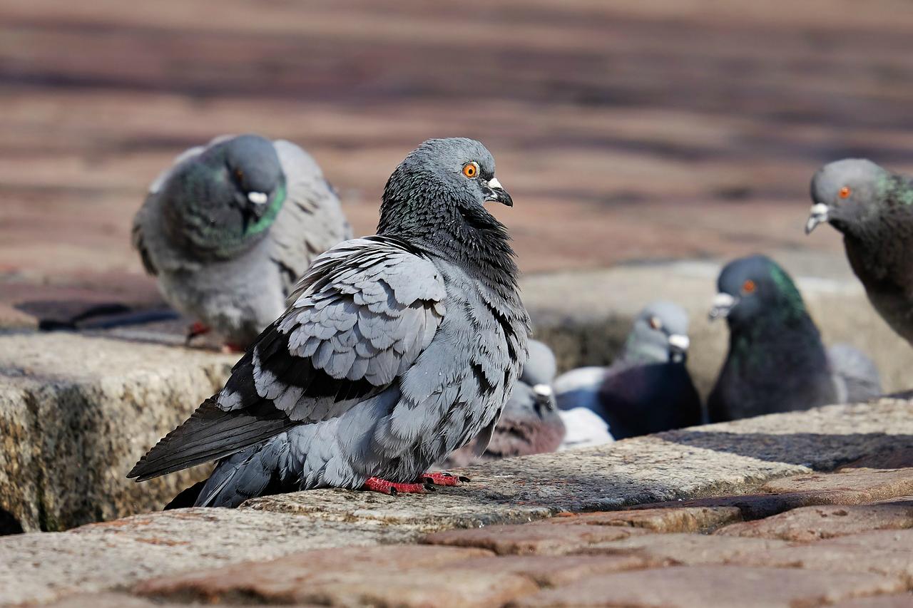 Podemos Getafe pide ajustar el servicio de control de aves urbanas a la ley