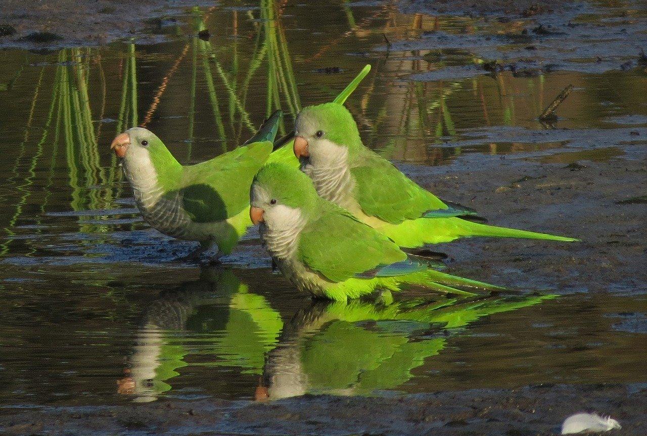 Podemos Getafe propondrá al Pleno retirar el servicio de control de palomas y otras aves exóticas