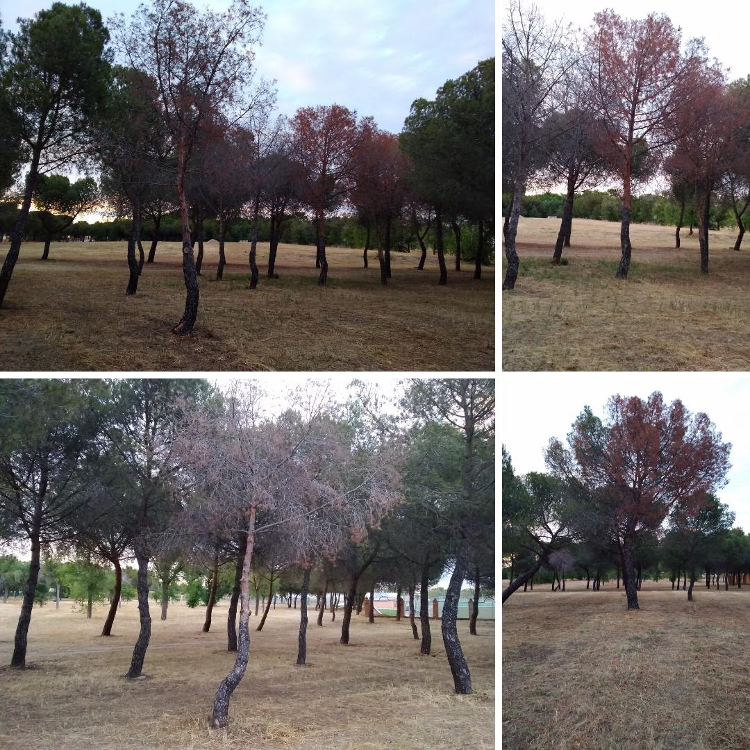 Podemos Getafe pide medidas urgentes para salvar un pinar del Parque de la Alhóndiga Sector III